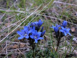 南アルプスは高山植物の宝庫、ミヤマリンドウ
